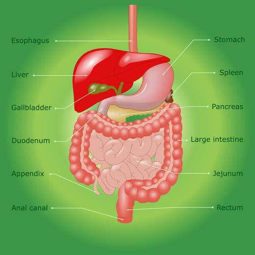 stomach-diagram-500